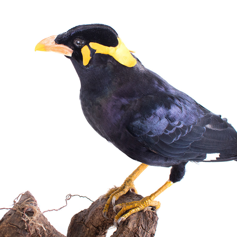 The Common Hill Myna
