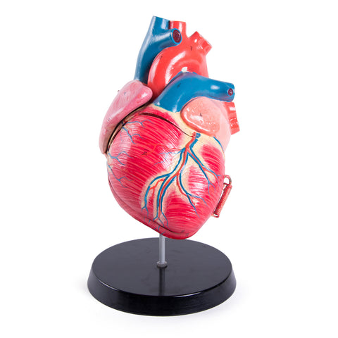 Vintage Collapsible Human Heart Model