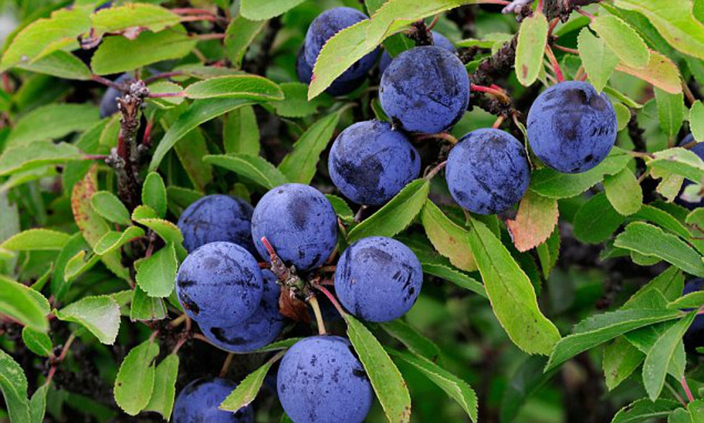 Fresh Sloes Can Be Added To Gin To Make Sloe Gin