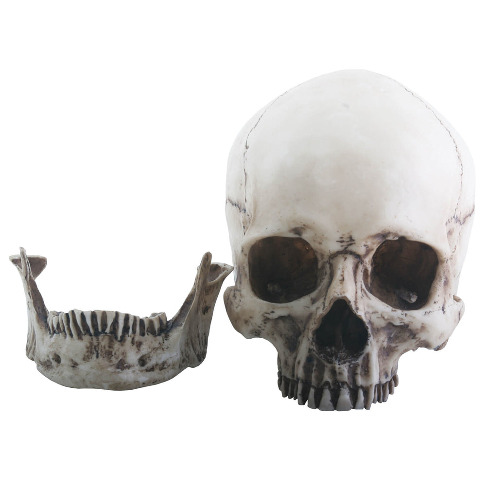 Realistic Looking Human Skull With Detachable Jaw Bone Home