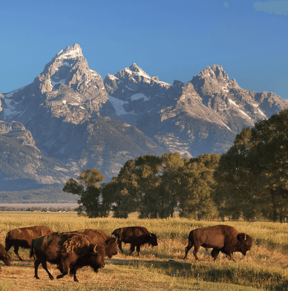 Grand Teton National Park - Where the Buffalo Roam - Canvas Wall Art - HolyCowCanvas