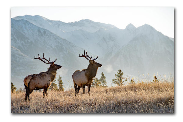 Rocky Mountain Elk on Canvas - Canvas Wall Art - HolyCowCanvas