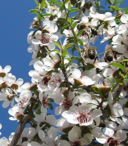Manuka Flower and Honeybees