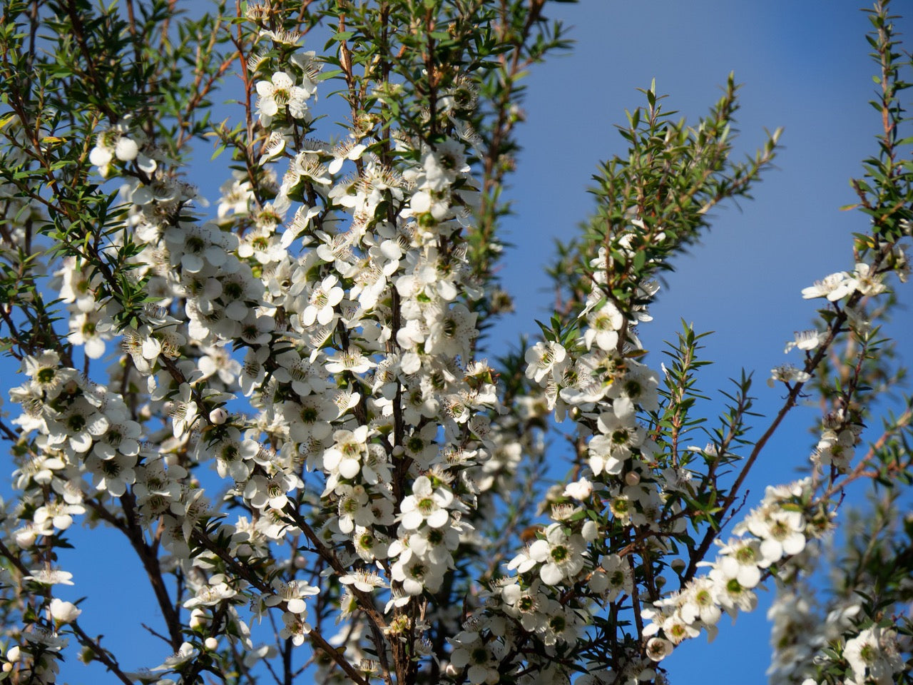 Manuka honey tree branches, flowers