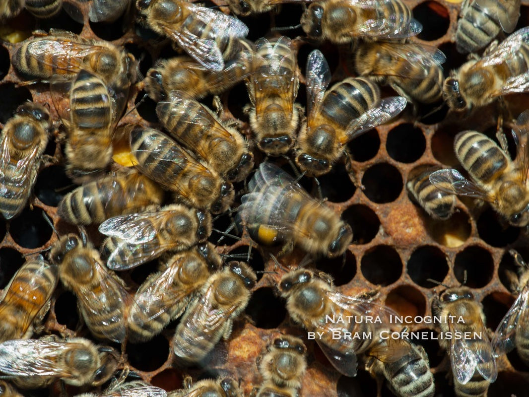 Bees on honeycomb doing waggle dance