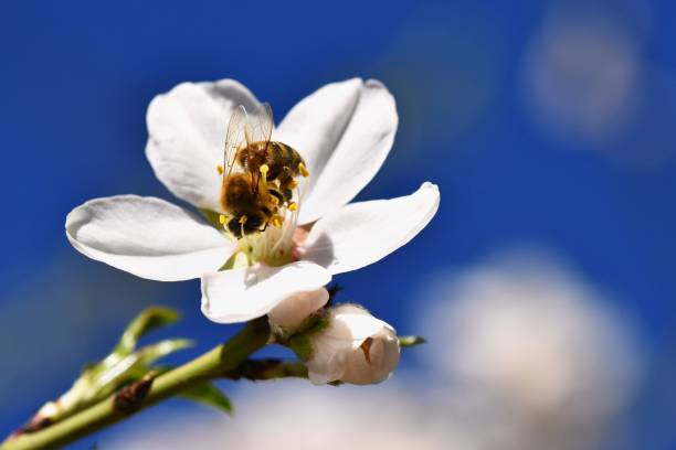 Honeybee on Manuka flower