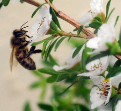Honeybee on foraging on Manuka flower