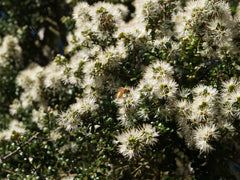 Honeybee on Blossoming Manuka Bush