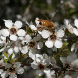 Bee Foraging on Manuka Flower