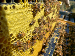 Honeybees capping cells of Manuka honey in hive