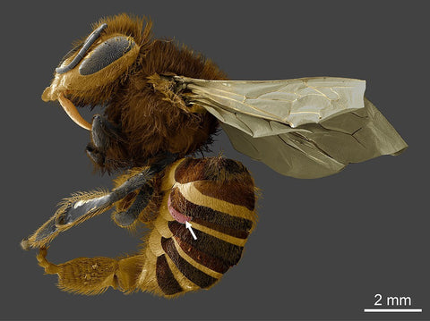 Honeybee with varroa mite attached
