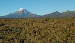 Mount Taranaki with Manuka bush