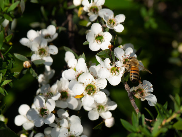 Honeybee collecting Manuka Nectar in New Zealand