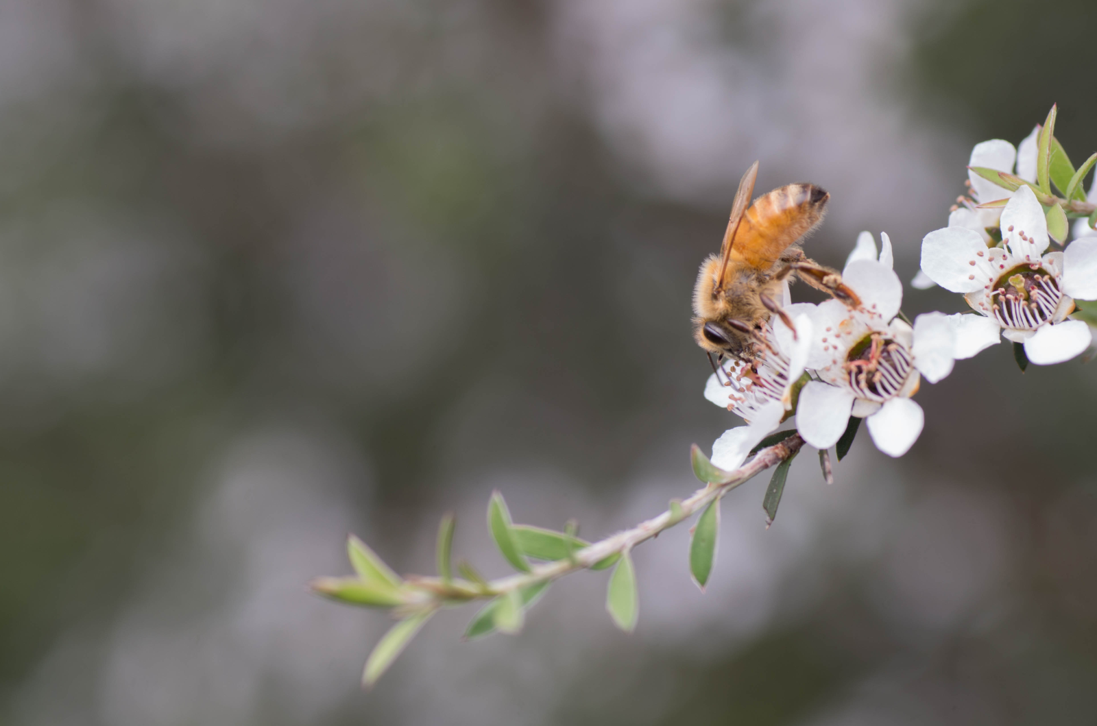 Bee foraging on Manuka flowers