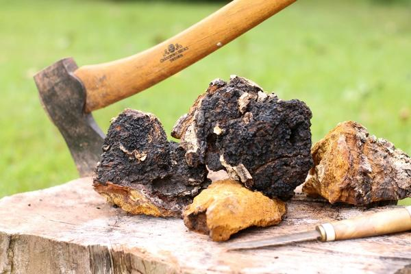 benefits of chaga mushroom side effects