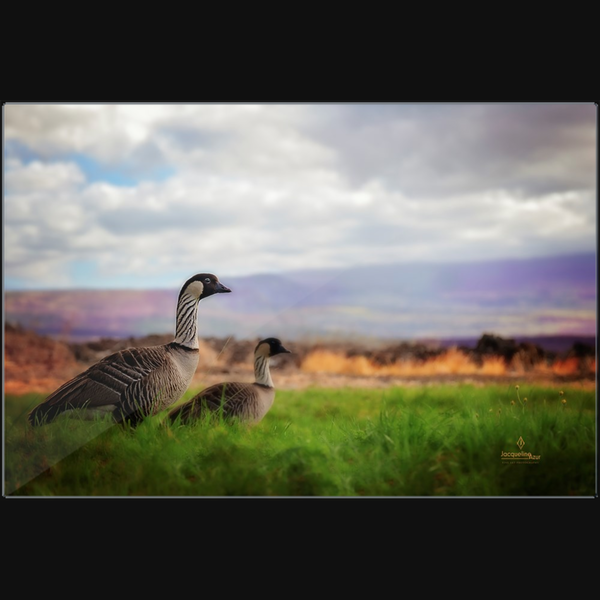 Hawaiian Nene Geese - Art photograph on metal print wall art