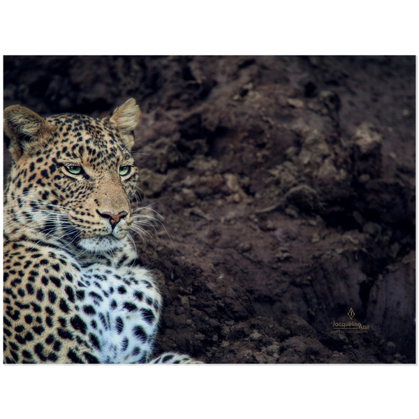 African Leopard Number1 12x16 - art photograph under acrylic wall art print