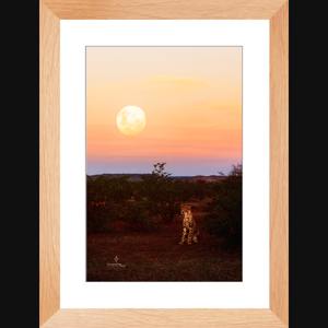 """Introspection"" Cheetah in the moonlight - Framed art photograph print with mat"