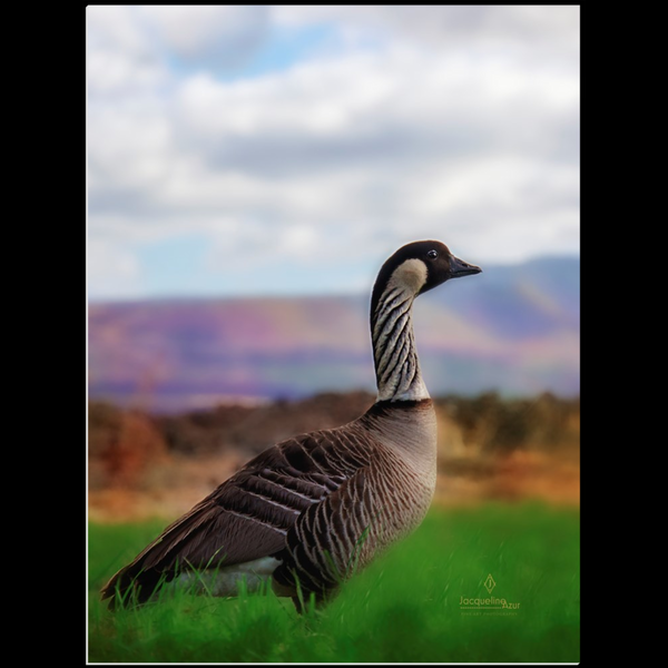 Hawaiian Nēnē Goose 12x16 - art photograph under acrylic wall art print