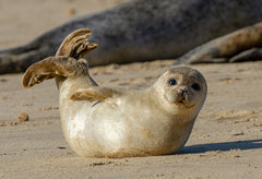 Baby seal on a beach