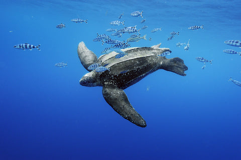 Leatherback Sea Turtle by Brian Skerry
