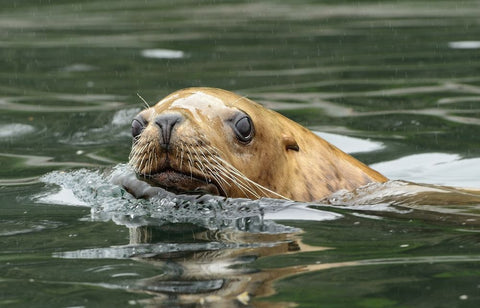 Steller Sea Lion by Jim Clark