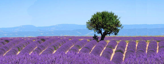 Buy Bulgarian Lavender
