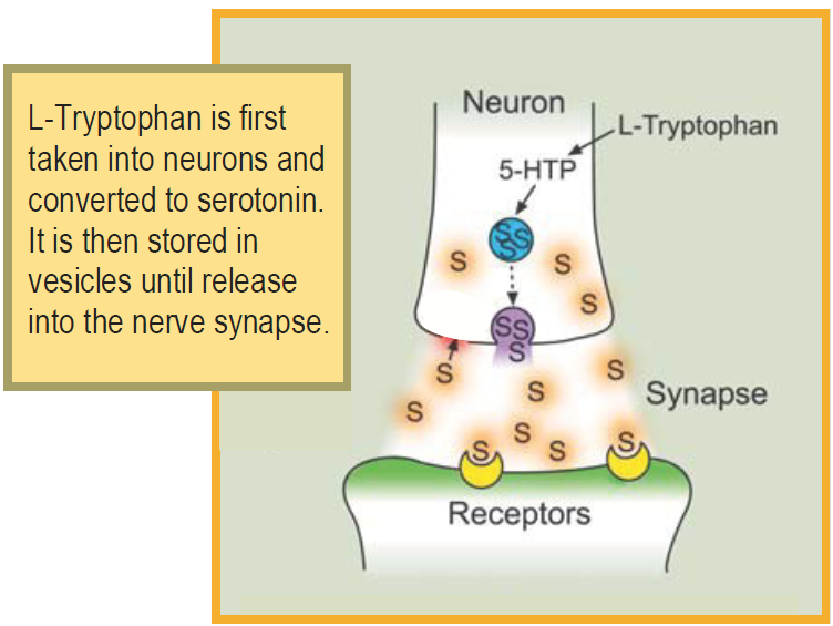 Tryptophan is first taken into neurons and converted to serotonin. It is then stored in vesicles until release into the verse synapse.