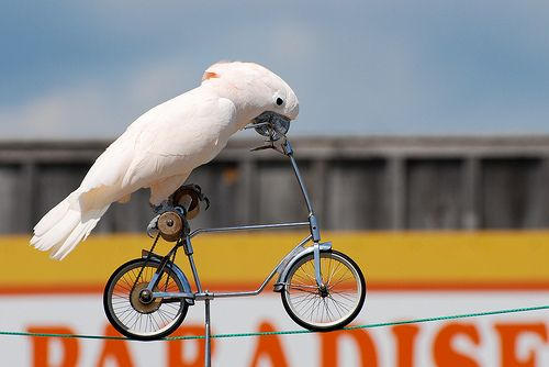 Cockatoo on a bicycle Goodordering