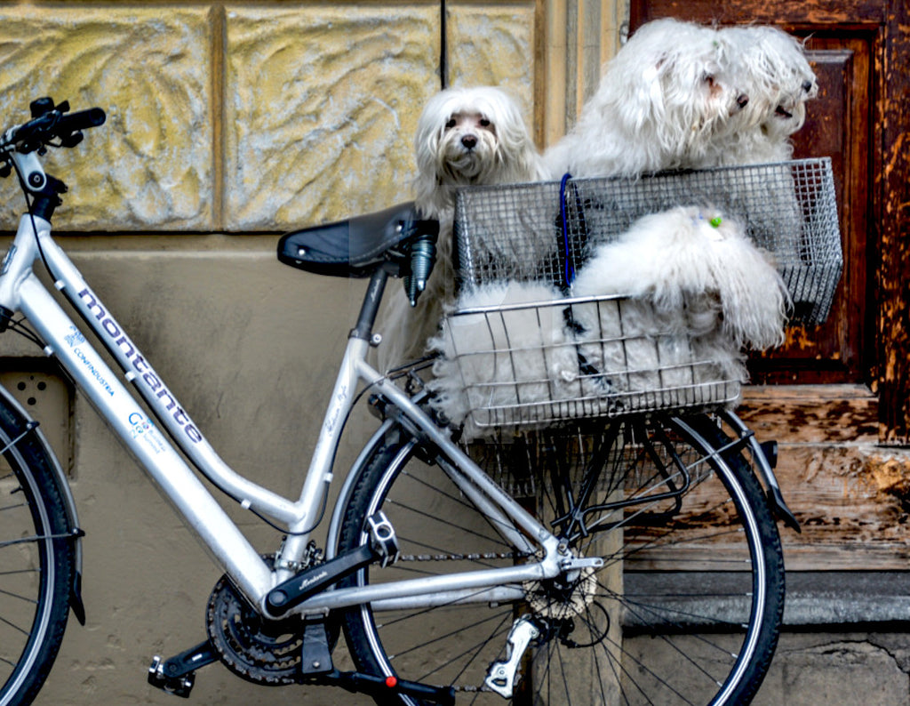 Dogs in bicycle basket