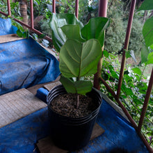 Load image into Gallery viewer, Ficus Lyrata (Fiddle-leaf Fig)