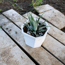 Load image into Gallery viewer, Haworthia