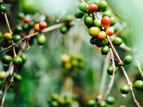 coffee cherry
