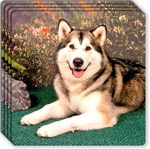 Alaskan Malamute Rubber Coaster Set