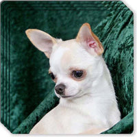 Chihuahua Rubber Coaster Set