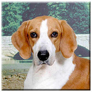 American Foxhound  Tile