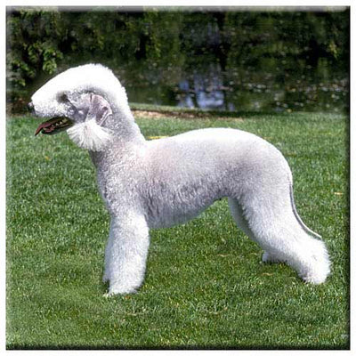Bedlington Terrier  Tile
