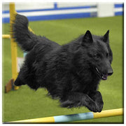 Belgian Sheepdog  Tile