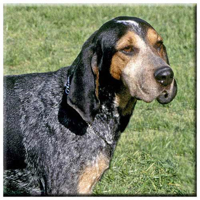 Blue Tick Coonhound  Tile