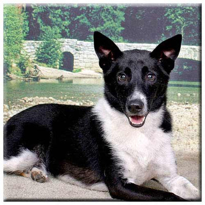 Canaan Dog  Tile