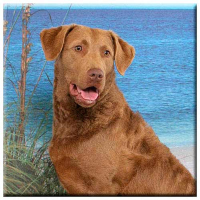 Chesapeake Bay Retriever  Tile
