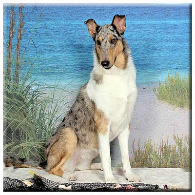 Collie Smooth  Tile