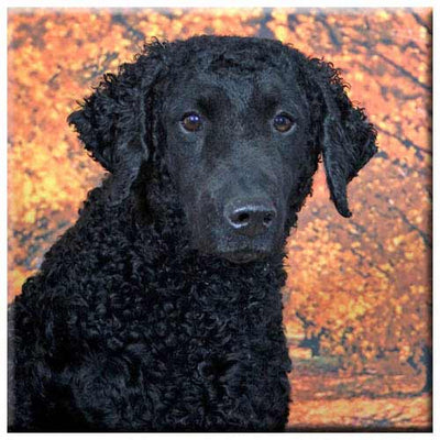 Curly Coated Retriever  Tile