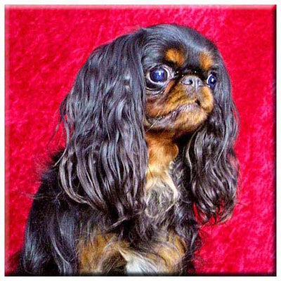 English Toy Spaniel  Tile