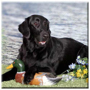 Flat Coated Retriever  Tile