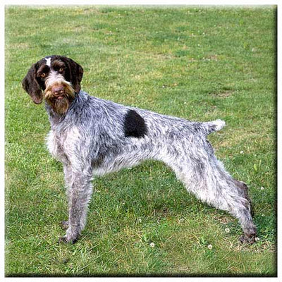 German Wirehair Pointer  Tile