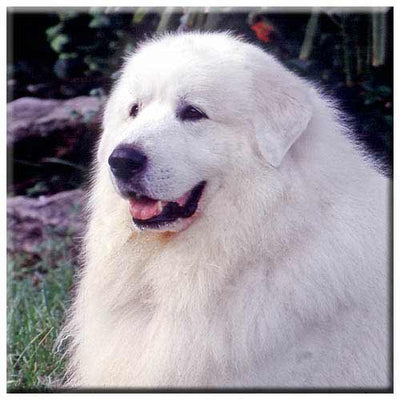 Great Pyrenees  Tile