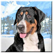 Greater Swiss Mountain Dog  Tile