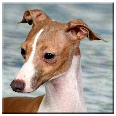 Italian Greyhound  Tile