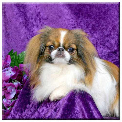 Japanese Chin  Tile